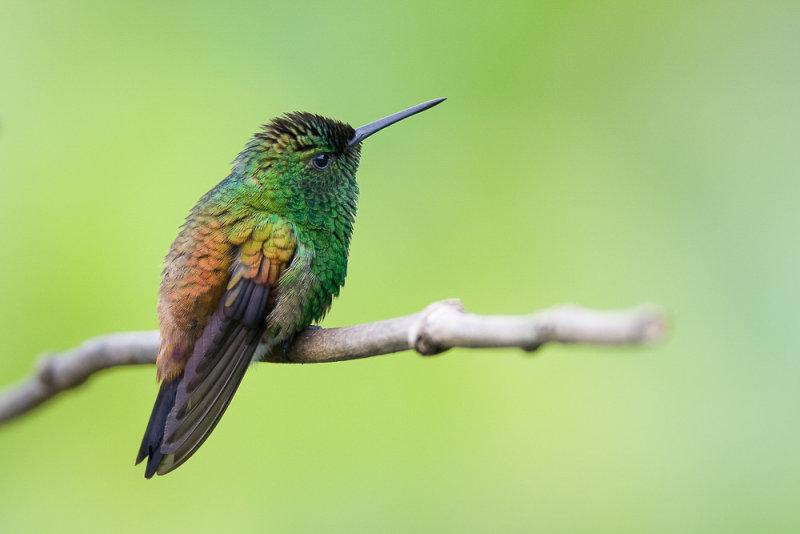 copper-rumped hummingbird<br><i>(Amazilia tobaci, NL: koperrugamazilia)</i>