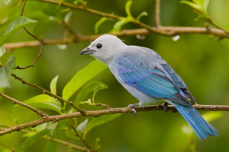 blue-grey tanager<br><i>(Thraupis episcopus, NL: bisschopstangare)</i>