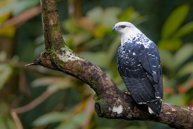 white hawk<br><i>(Pseudastur albicollis, NL: bonte buizerd)</i>