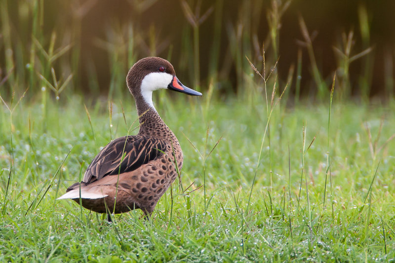 white-cheeked pintail<br><i>(Anas bahamensis, NL: bahamapijlstaart)</i>
