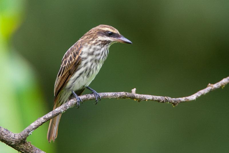 streaked flycatcher<br><i>(Myiodynastes maculatus, NL: gestreepte tiran)</i>