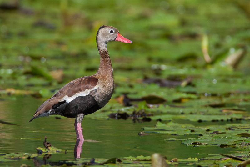 black-bellied whistling duck<br><i>(Dendrocygna autumnalis, NL: zwartbuikfluiteend)</i>