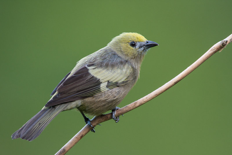 palm tanager<br><i>(Thraupis palmarum, NL: palm tangare)</i>