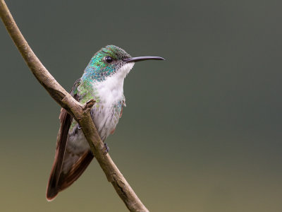 white-chested emerald<br><i>(Amazilia brevirostris, NL: witborstamazilia)</i>