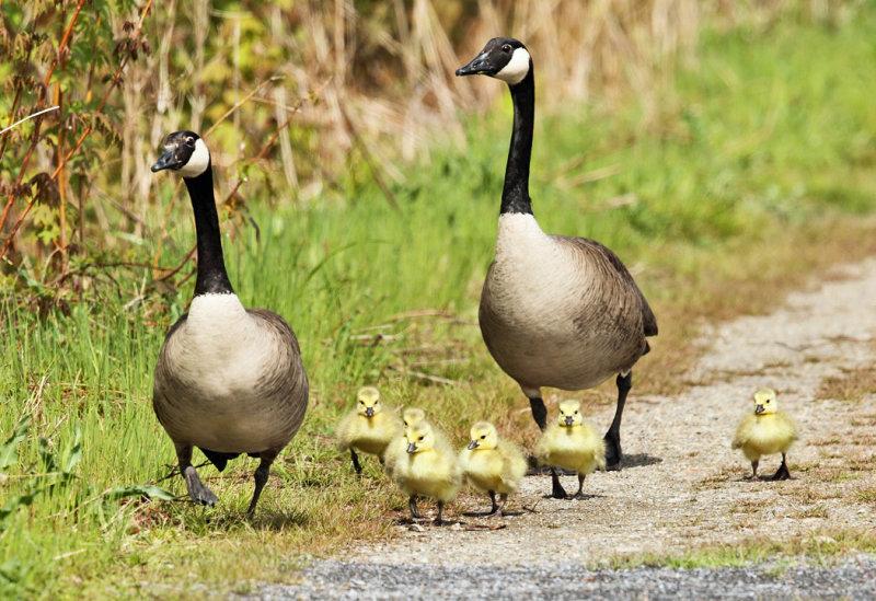 Canada Geese - Branta canadensis