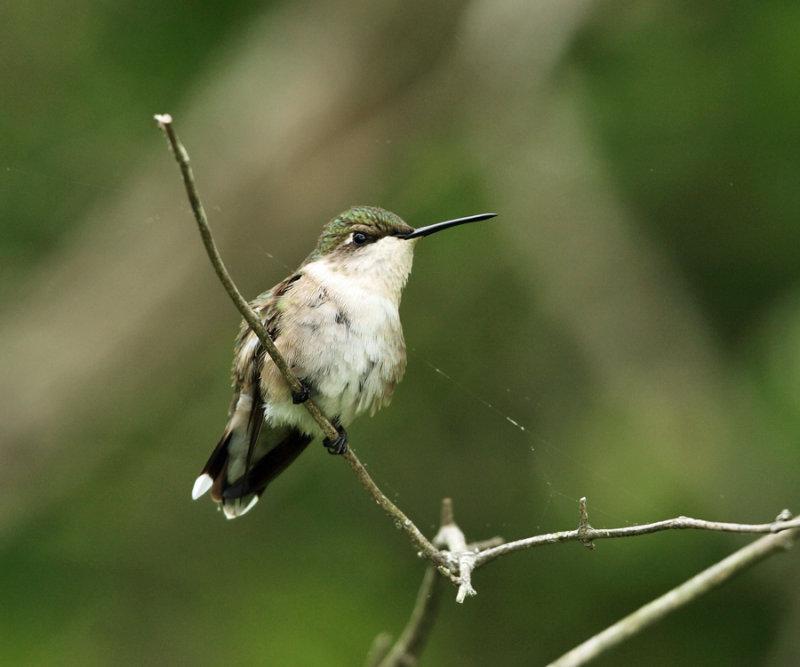 Ruby-throated Hummingbird - Archilochus colubris (female)