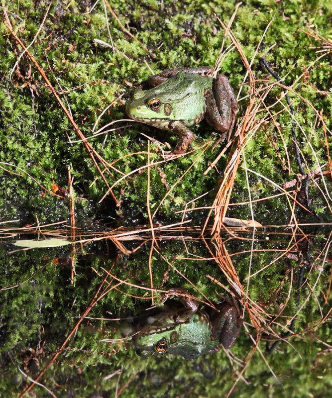 Green Frog - Rana clamitans
