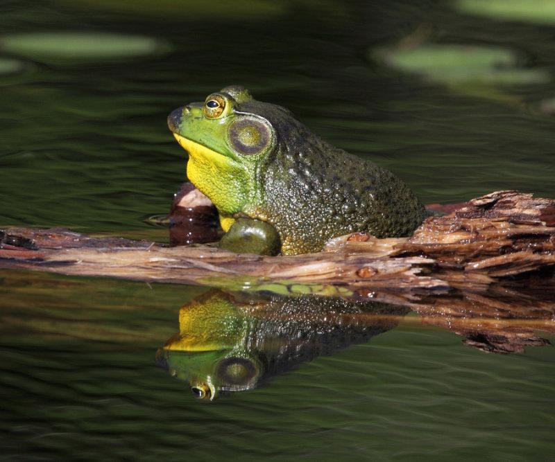 Bullfrog - Rana catesbeiana