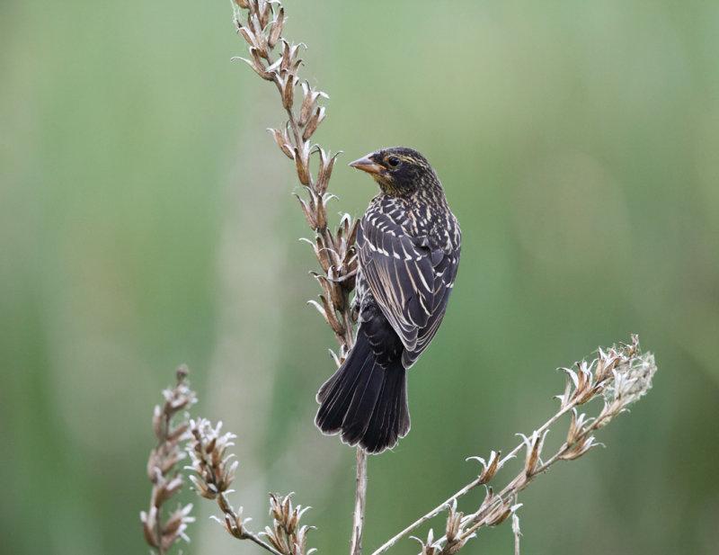 Red-winged Blackbird - Agelaius phoeniceus (female)