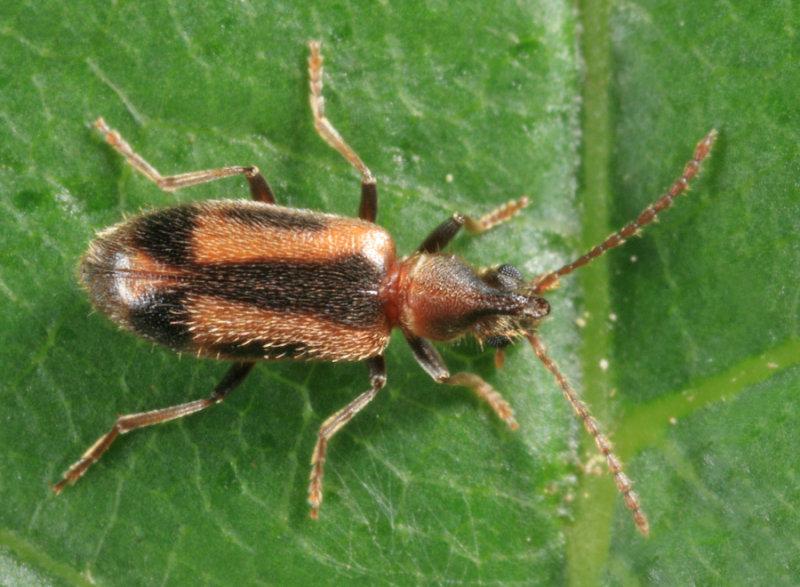 Notoxus anchora