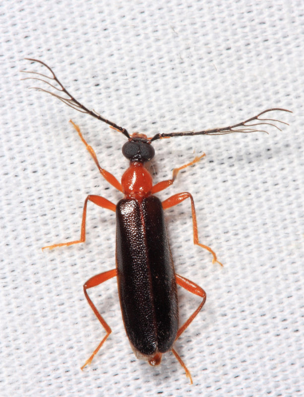 Dendroides canadensis