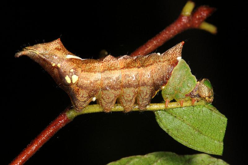 8007 - Unicorn Caterpillar - Schizura unicornis