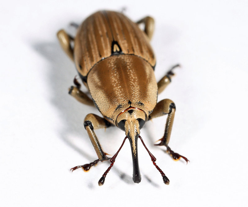 Clay-coloured Billbug - Sphenophorus aequalis