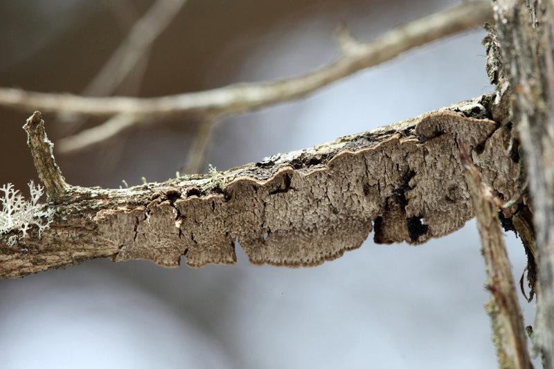 Echinodontium ballouii