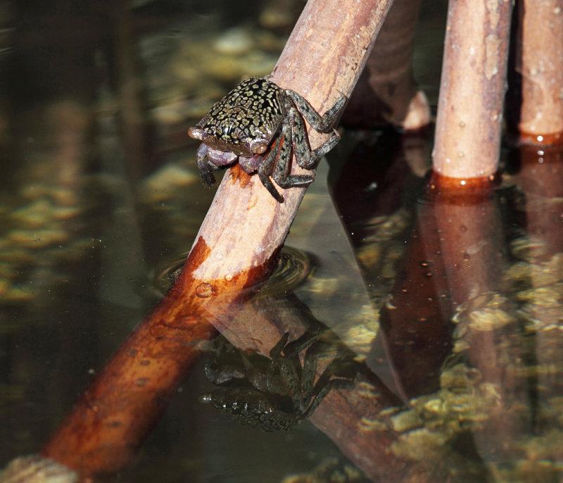 Mangrove Tree Crab - Aratus pisonii