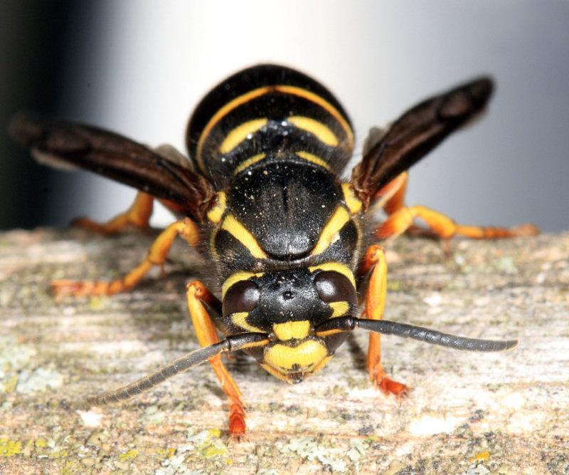 Ground Hornet - Vespula vidua