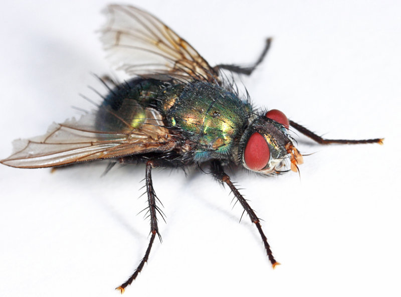 Gymnocheta ruficornis