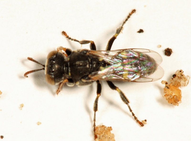 Oxybelus sp.