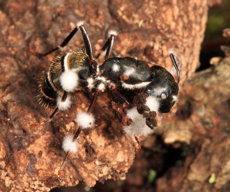 Beauveria sp? (on a parasitized ant)
