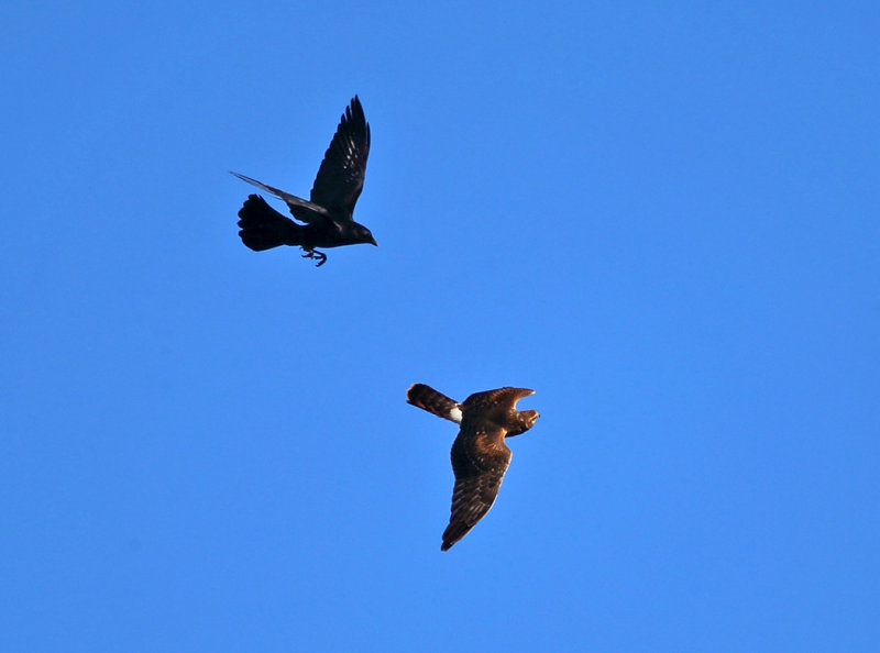 Northern Harrier mobbed by crows
