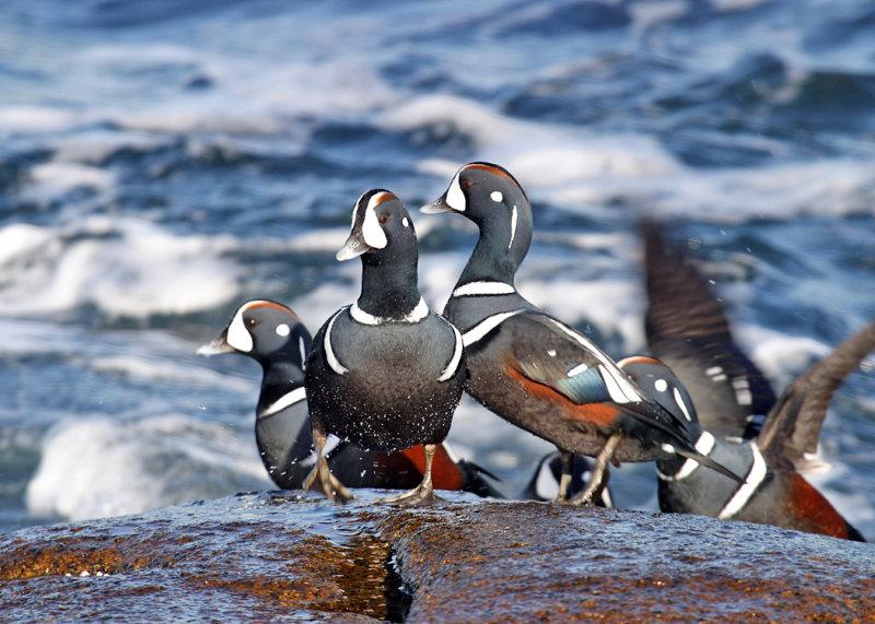 Harlequin Ducks - Histrionicus histrionicus