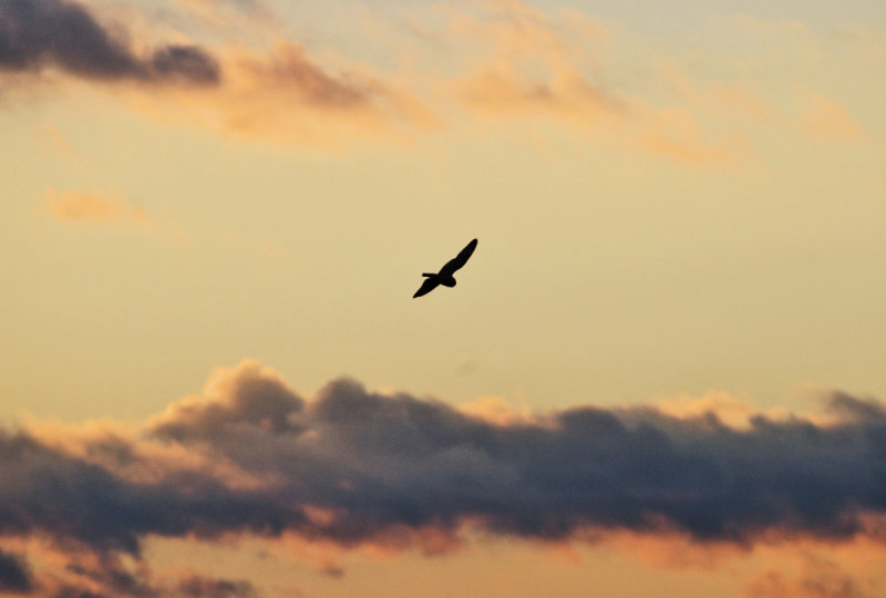 Short-eared Owl flying off into the sunset