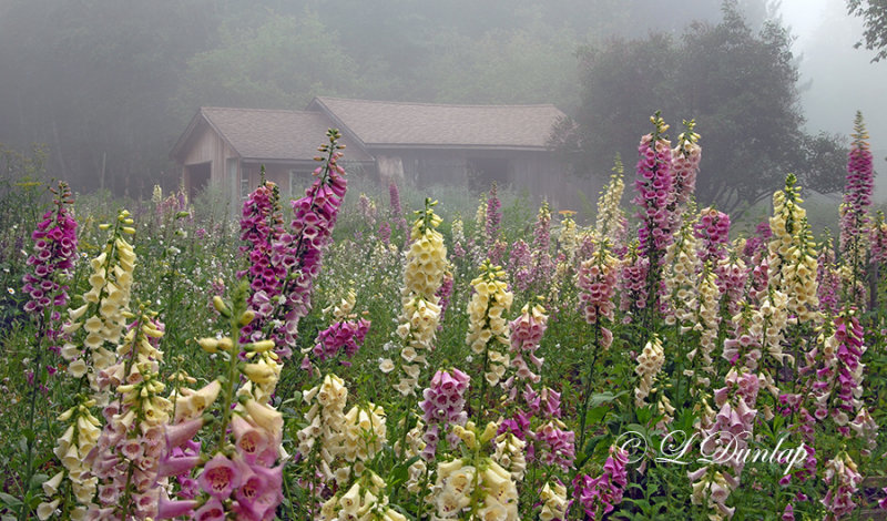 Foxglove Field In Fog