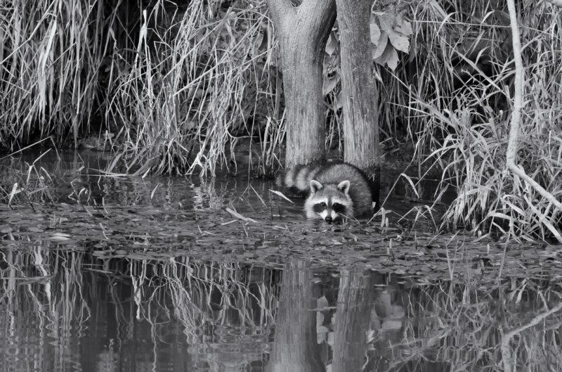 Raccoon at Elam Bend