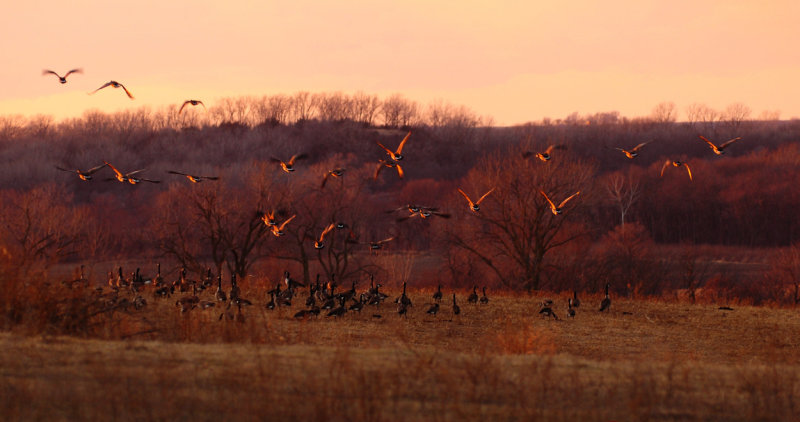 Geese During Twilight Glow