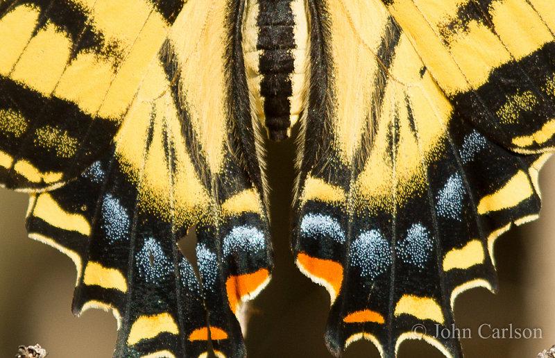 Swallowtail-9226.jpg