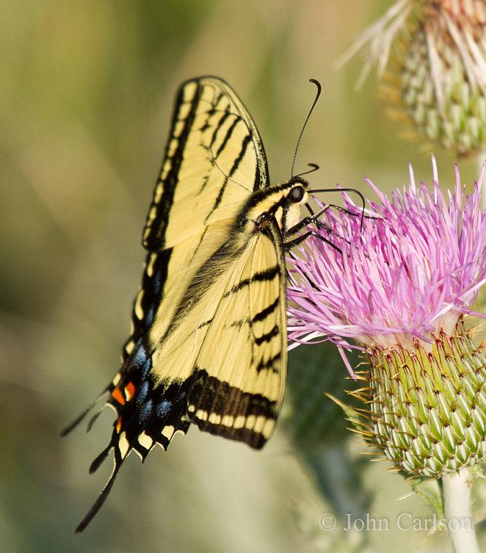 Swallowtail-9243.jpg
