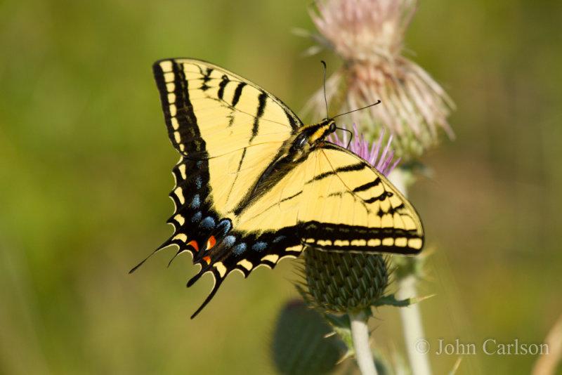 Swallowtail-9269.jpg