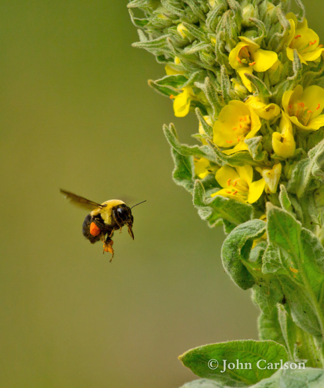 bumble bee-7846.jpg