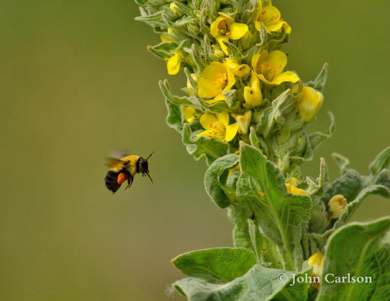 bumble bee-7847.jpg