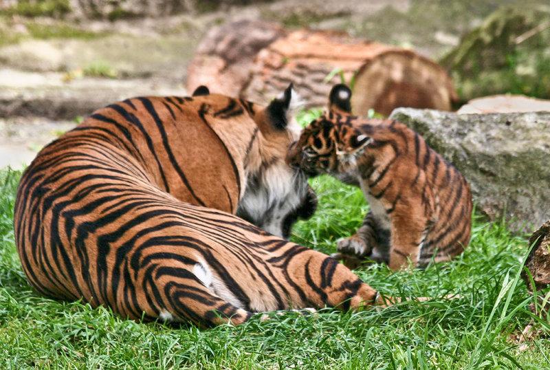 As sole cub, she gets good attention. (Taken thru plexiglass). mImg_0725.jpg