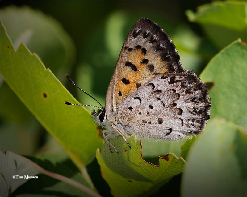 Mariposa Copper