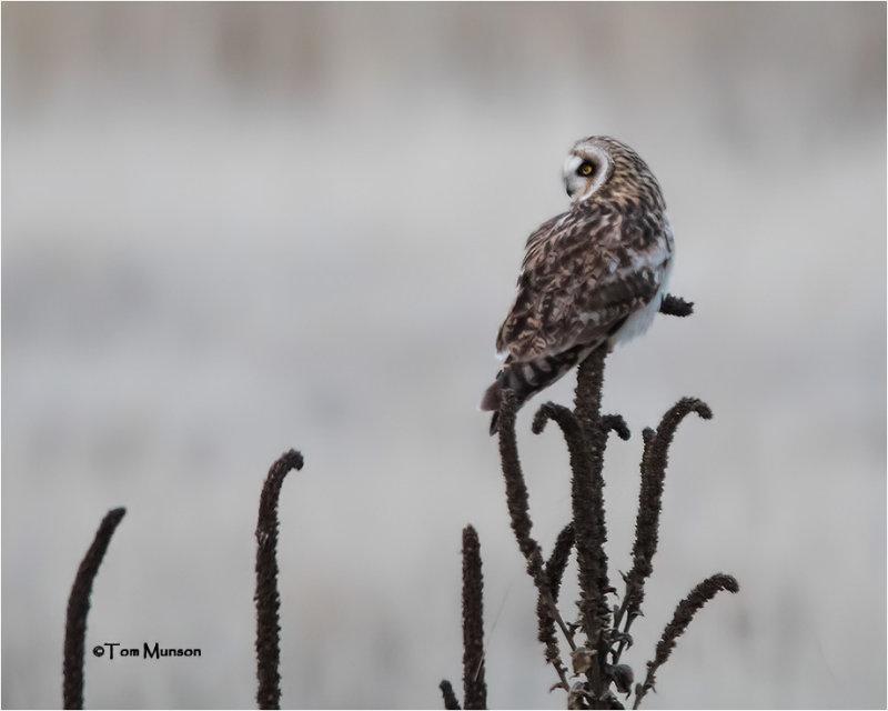 Short-eared Owl (taken on a dark day)