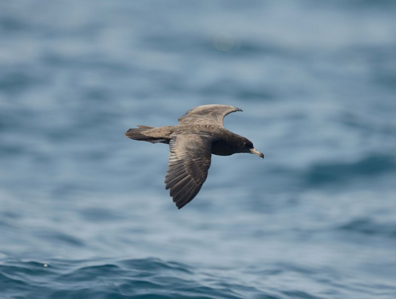 3. Flesh-footed Shearwater - Puffinus carneipes
