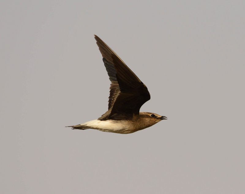 4. Black-winged Pratincole - Glareola nordmanni
