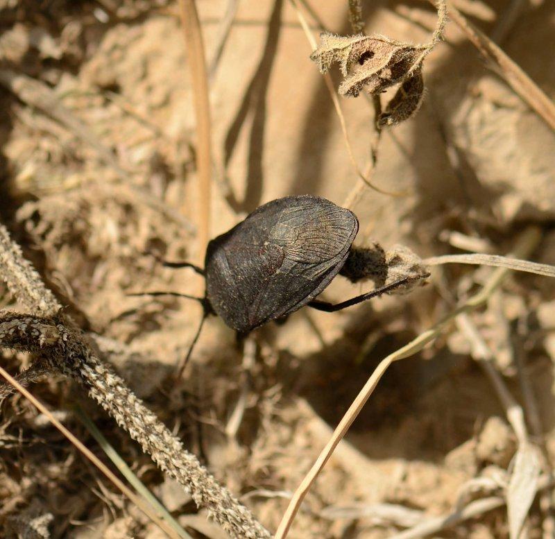 1. Coridius viduatus - Black Watermelon Bug