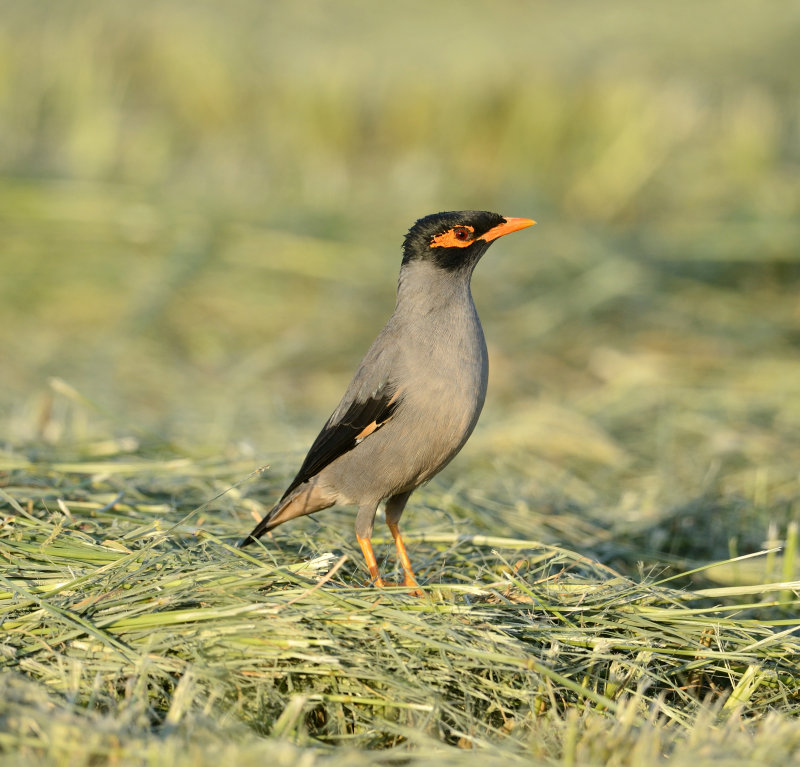 1. Bank Myna - Acridotheres ginginianus