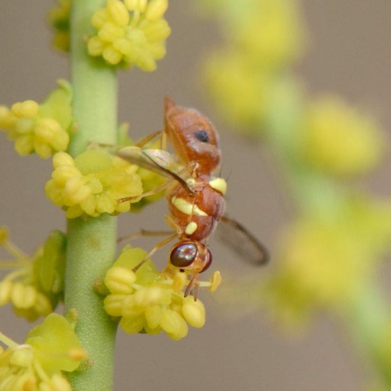6. Dacus ciliatus (Loew, 1862)
