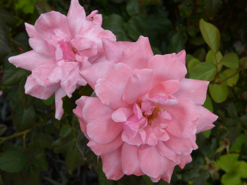 Rosen P1000014.jpg