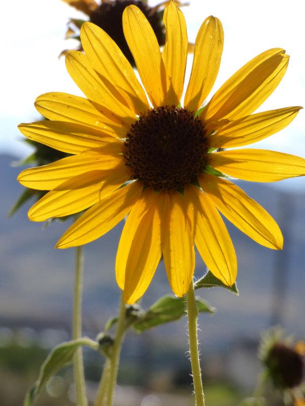Sunflower on Chinese Peak Trail P1000139.jpg