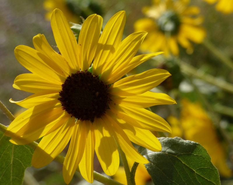 Sunflower on Chinese Peak Trail P1000141.jpg