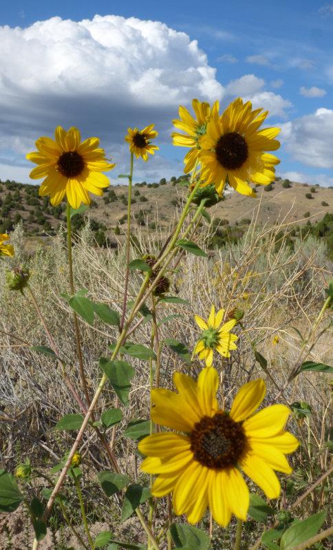 Sunflowers on Chinese Peak  Trail P1000097.jpg