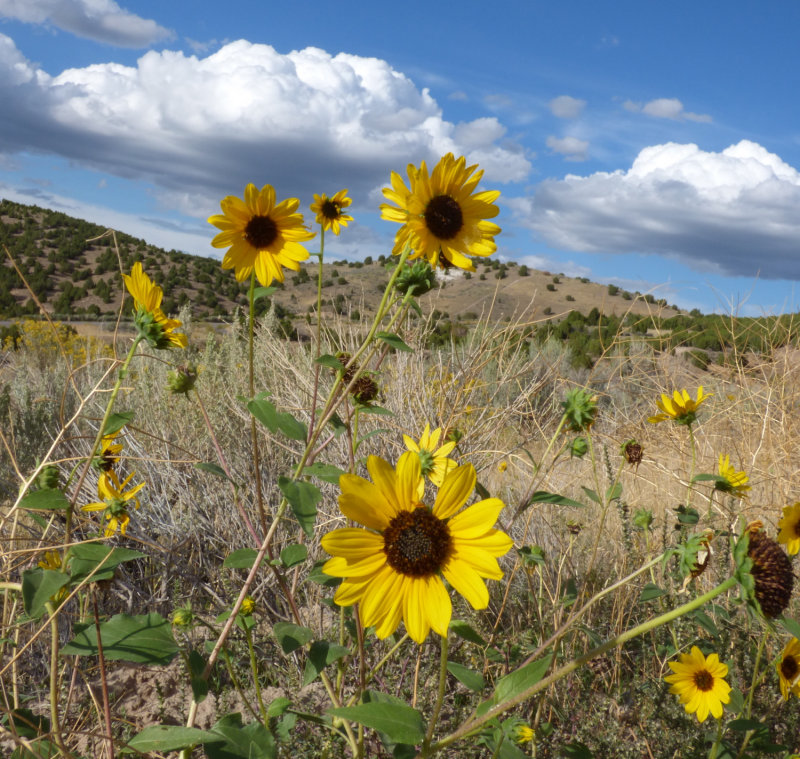 Sunflowers on Chinese Peak Trail P1000098.jpg