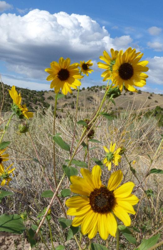 Sunflowers on Chinese Peak Trail P1000099.jpg