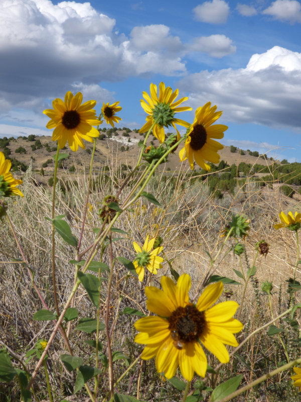 Sunflowers on Chinese Peak Trail P1000122.jpg