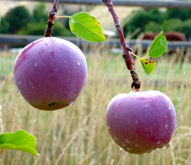 Two Apples P1000067.jpg